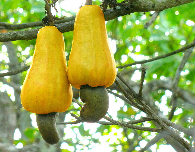 a history of the cajueiro the cashew of south america